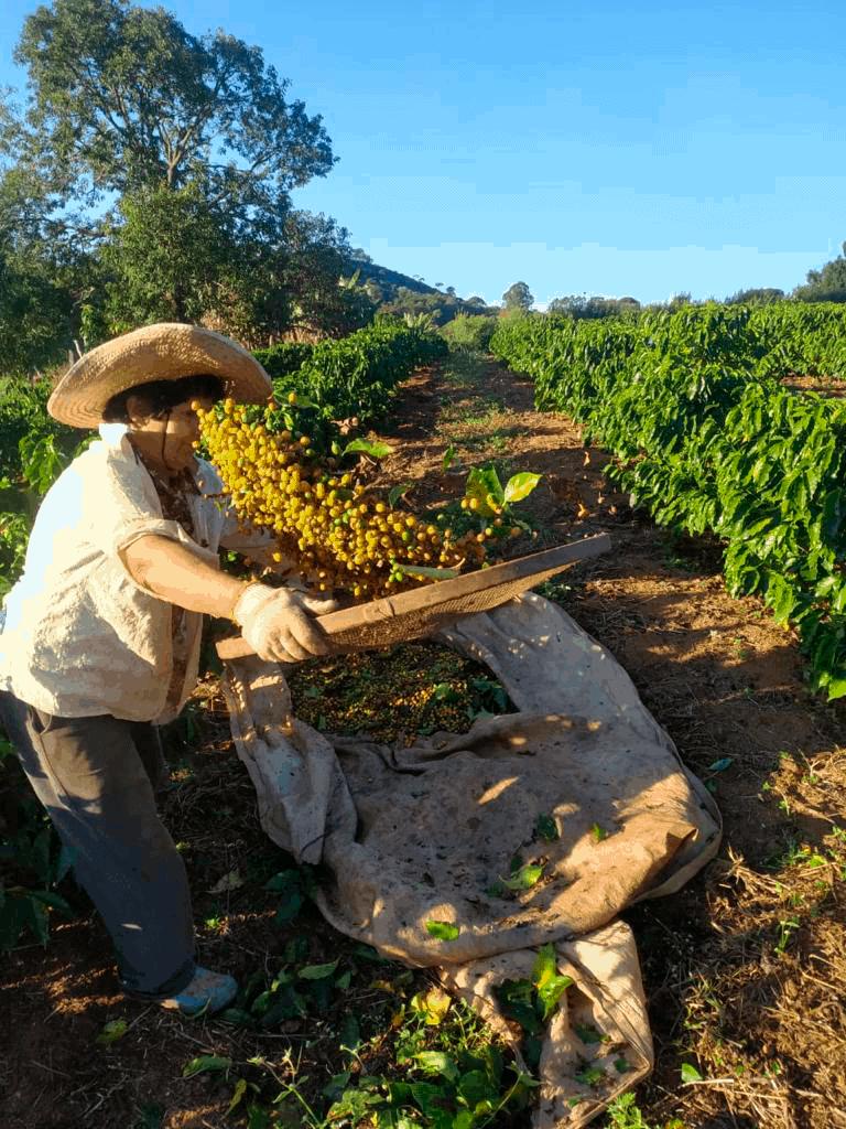 produtor trabalhando no café araras do Santo Grão (café arara)